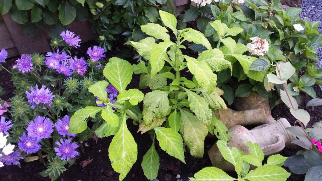 Salvia Divinorum in de tuin